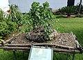 Pyrenacantha malvifolia - Arusha botanical gardens.jpg