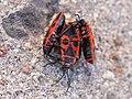 Pyrrhocoris apterus 14.JPG