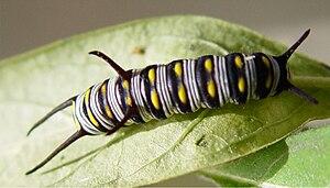 Queen (butterfly) - A queen caterpillar