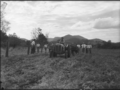 Queensland State Archives 1726 Department of Agriculture and Stock Cattle Husbandry Branch field day at a farm in the Upper Coomera Gold Coast August 1954.png
