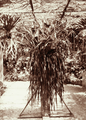 Queensland State Archives 2476 Ribbon fern at Acclimatisation Gardens c 1898.png