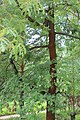 Quercus pyrenaica BotGardBln 20170610 E.jpg
