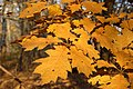 Quercus rubra leaves orange Marki.jpg