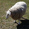Quex Barn sheep Quex Park Birchington Kent England.jpg