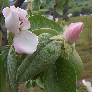 Image of Quince: http://dbpedia.org/resource/Quince