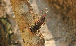 Tettigomyiinae Subfamily of insects