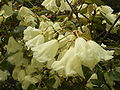 RHododendron 'Moonstone' R0016186.JPG