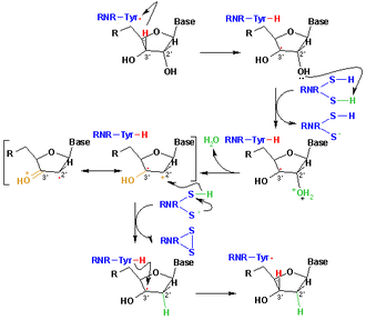 Thiol - The catalytic cycle for ribonucleotide reductase, demonstrating the role of thiyl radicals in producing the genetic machinery of life.
