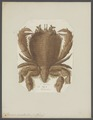 Ranina serrata - - Print - Iconographia Zoologica - Special Collections University of Amsterdam - UBAINV0274 096 09 0002.tif