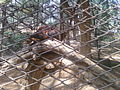 Ratufa indica (Indian Giant Squirrel) at IGZoo Park 01.jpg
