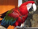 Red-and-green Macaw 02.jpg