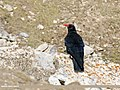 Red-billed Chough (Pyrrhocorax pyrrhocorax) (46557763182).jpg