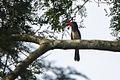 Red-billed Dwarf Hornbill - Bobiri - Ghana 14 S4E3165 (16016185558).jpg