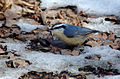 Red-breasted Nuthatch (Sitta canadensis)11.jpg