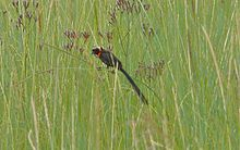 Red-collared widowbird.jpg