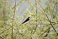 Red-rumped Swallow, Gir NP, India.jpg