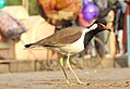 Red-wattled Lapwing Vanellus indicus by Dr. Raju Kasambe DSCN9584 (2).jpg