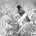 Red-winged blackbird, B&W -2 (14307365528).jpg