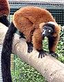Red.ruffed.lemur.ontree.arp.jpg