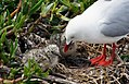 Red Billed Gull And Chick (9376733922).jpg