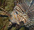 Red Lionfish Pterois volitans Face 1527px.jpg