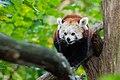 Red Panda (26773156779).jpg