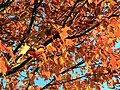 Red maple tree in autumn fall.jpg