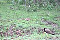 Red wattled lapwing 1.jpg
