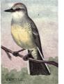 Reed-arkansas-kingbird.png