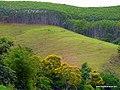 Reflorestamento com plantação de eucaliptos. - panoramio.jpg