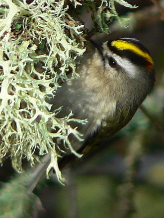 South Saddle Mountain - A golden-crowned kinglet.
