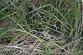 Rehkitz im Gras.jpg