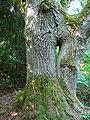 Reibiniškio miško dvikamienis ąžuolas, kamienas.JPG