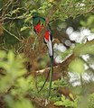 Resplendent Quetzal (Pharomachrus mocinno) (5771970213).jpg