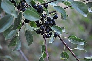 Rešetliak prečisťujúci - plody a listy