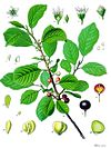 Rhamnus frangula - Köhler–s Medizinal-Pflanzen-120.jpg