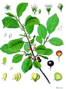 rhamnus-ilicifolia