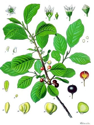 Rhamnus (genus) - 19th century illustration of Rhamnus frangula