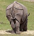 Rhino 3 (4506420546).jpg