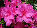 Rhododendron 'Concina' 03.JPG