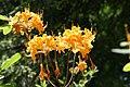 Rhododendron Aromi Sunrise 3zz.jpg