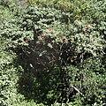 Rhododendron arboreum .jpg