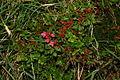 Rhododendron hirsutum m2.JPG