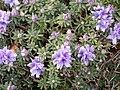 Rhododendron impeditum - University of Copenhagen Botanical Garden - DSC07557.JPG