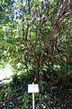 Rhododendron moulmainense (Rhododendron stenaulum) - Caerhayes Castle gardens - Cornwall, England - DSC03051.jpg