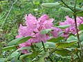 Rhododendron orbiculare (5640173840).jpg