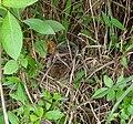 Rhopocichla atriceps nest.jpg