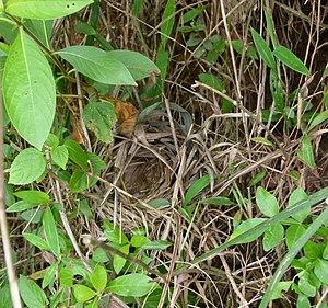 Dark-fronted babbler - View of nest