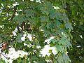 Rhytisma acerinum brok 1 beentree.jpg