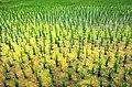 Rice farm - panoramio.jpg